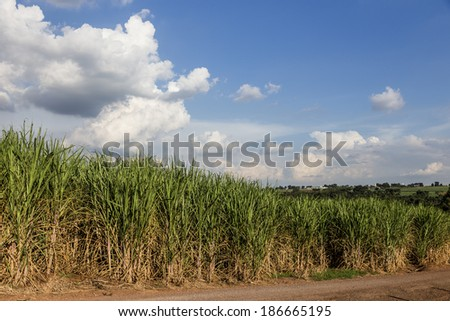 Brazilian Sugar cane fields under a blue sky.