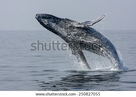 Breaching Hump Back Whale off the coast of Honolulu, Hawaii. motion blur - stock photo