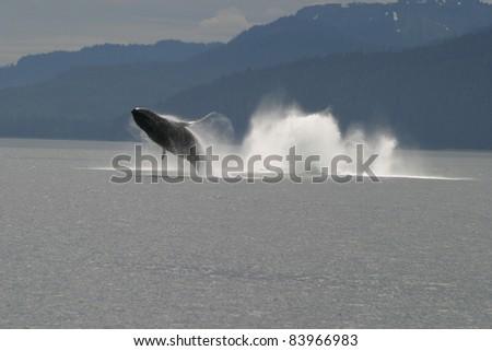 Breaching Humpback Whale - stock photo