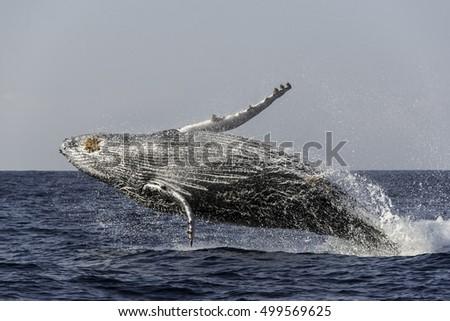 Breaching humpback whale calf during the annual migration north to warmer waters along the east coast of South Africa. Image was taken during the sardine run.