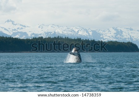 Breaching whales in Alaska.  Near Auk Bay, Juneau.  Seen in the background are snow capped Alaskan mountain range.  Sequence 2 of 9.