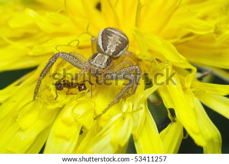 Breakfast spider. A terrible creature killed peaceful ant. - stock photo