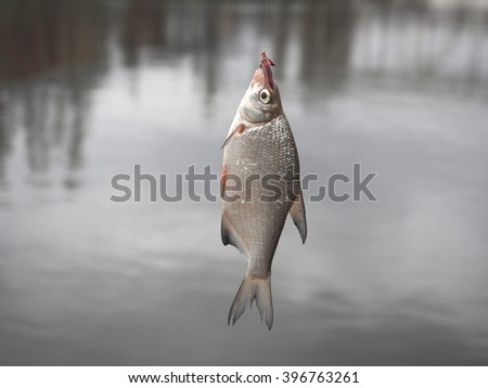 bream on fishing-rod on background of water - stock photo