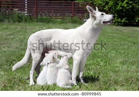 breast feeding Swiss shepherd dog with pups - stock photo