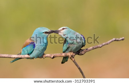 Breasted rollers couple (Coracias garrulus) standing on branch while male courting bringing insects to female - stock photo