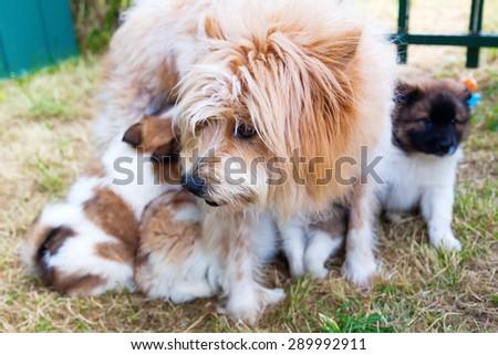 breastfeeding Elo dog mother - stock photo