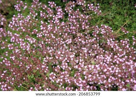 Breckland thyme, wild thyme in eco -friendly backyard formal garden, vegetable garden. Herbarium.  - stock photo