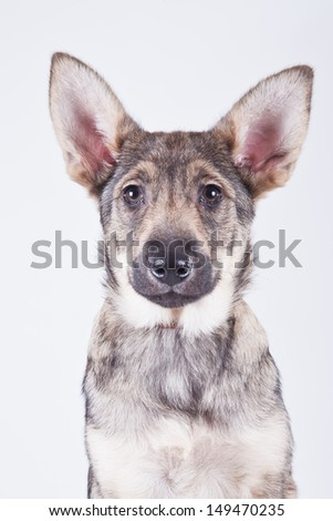 Breed dog - stock photo