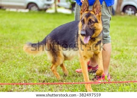 breed of german shepherd on grass floor, dog in the park - stock photo