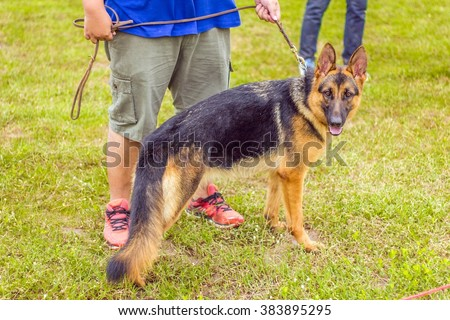 breed of German Shepherd stand on grass floor with trainer, dog in the park, german shepherd profile - stock photo