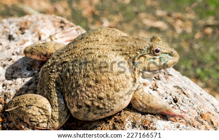 Breeding brown frog sitting on the rocks. - stock photo