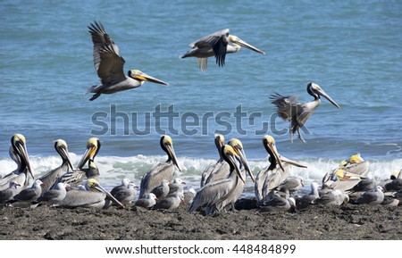 Breeding colony of brown pelicans, Baja, California