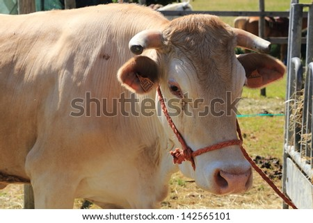 breeding cows and bulls for meat and milk production for cheese parmesan typical Italian product healthy eating eat well - stock photo