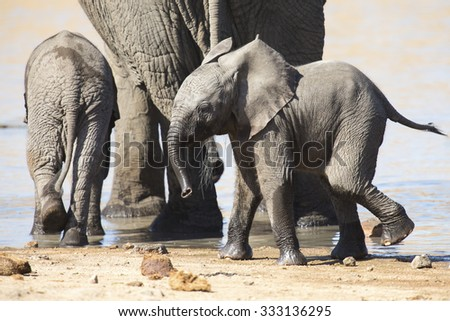 Breeding herd of elephant drinking water at a small pond