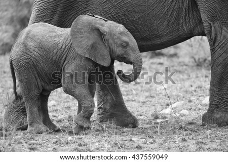 Breeding herd of elephant walking and eating on short brown grass - stock photo