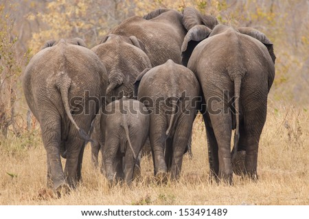Breeding herd of rear end elephant walking away int the trees - stock photo