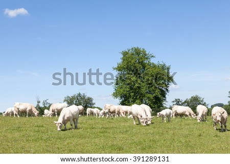 Breeding herd of white Charolais beef cattle grazing in a pasture with cows and  calves on a sunny spring day - stock photo