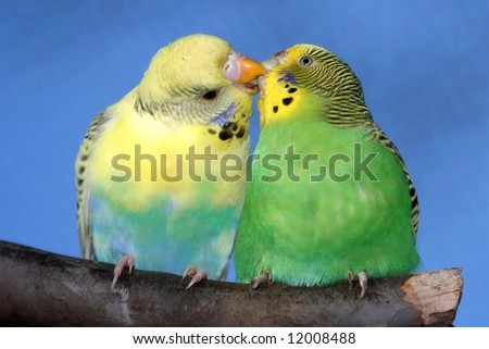Breeding pair of budgies with the male budgie bird kissing his mate - stock photo