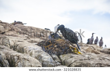 Breeding shag at the Farne Islands in Northumberland