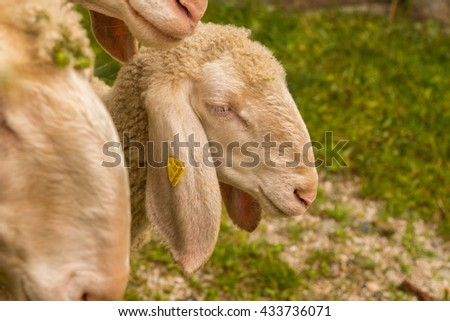 Breeding sheep - stock photo