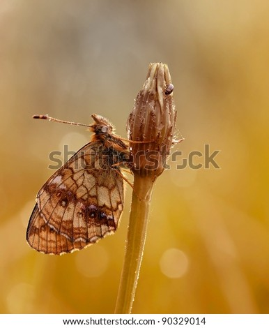 Brenthis ino Butterfly (Lesser marbled fritillary) on a horseflower with an awesome background-light.