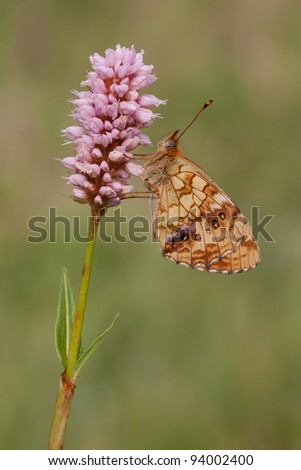 Brenthis ino Butterfly (Lesser marbled fritillary) resting on snakeweek in a great position