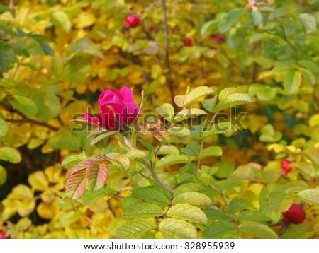 Briar (dog-rose) flower with water drops at autumn season bush - stock photo