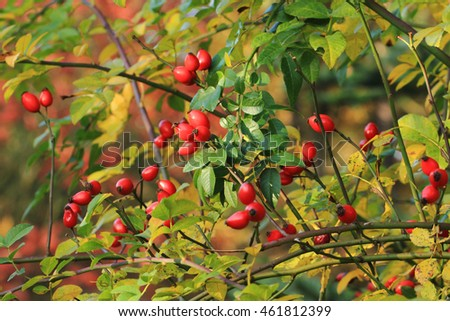 Briar fruit, wild rose hip shrub in nature
