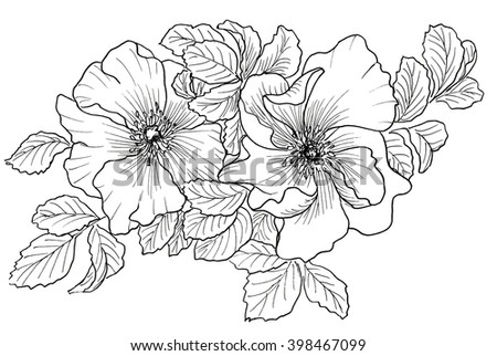 Briar. Wild rose isolated on white. Hand drawn illustration. Ink drawing flowers. Contour pencil drawing. Hand drawn sketch. Drawn sketch of flowers. Doodles hand drawn. Flowers doodles. - stock photo