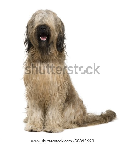 Briard dog, 14 months old, sitting in front of white background - stock photo