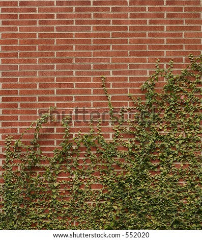 Brick wall covered with creeping ivy. - stock photo