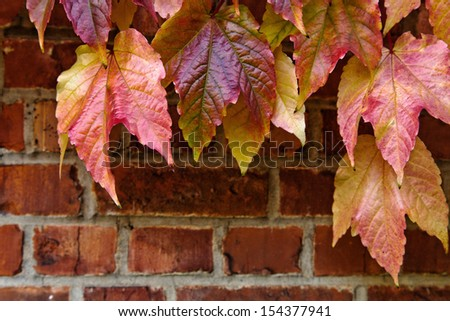 Brick wall of the house overgrown with grape leaves. Abstract background. Autumn. - stock photo