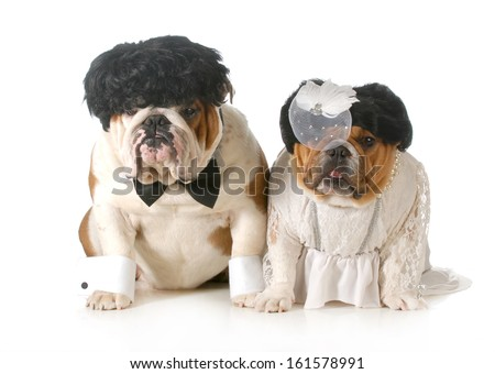 bride and groom dog - english bulldogs dressed up like bride and groom isolated on white background