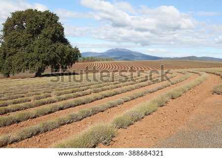 Bridestowe Estate Lavender Farm - stock photo