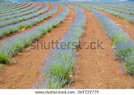 Bridestowe Lavender Estate - Tasmania - stock photo