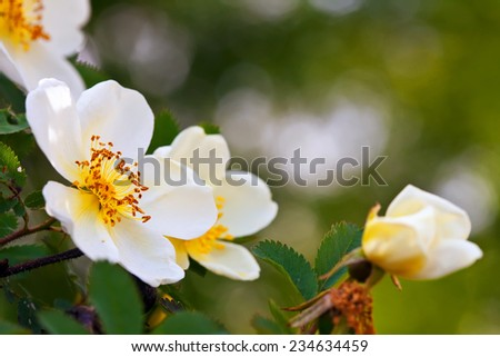 brier flowers against blur  background with copy space - stock photo