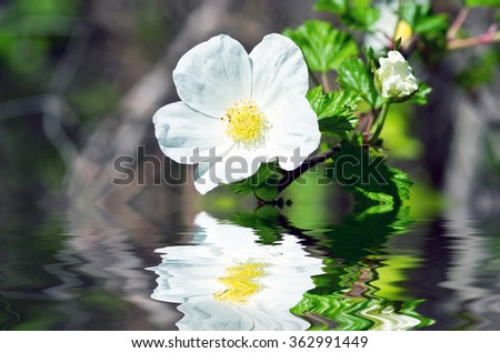 brier flowers against blur spring foliage background - stock photo
