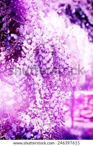Bright Abstract Wistaria Flower Purple Blossom Background - stock photo