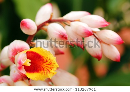 Bright and beautiful cardamom(cardamon) flowers in red, orange and yellow colors in the foreground with floral buds in pink color in the background - stock photo