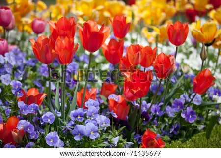 Bright and colorful tulips flower - stock photo
