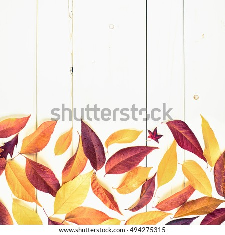 Bright and Pretty Fall Display of Colorful Ash Leaves for a Thanksgiving or Halloween Card on Rustic White Board Background with room or space for copy, text, or your words and is Cross Processed