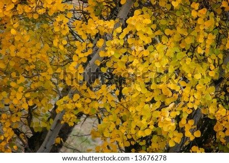 Bright Aspen leaves in Fall - stock photo
