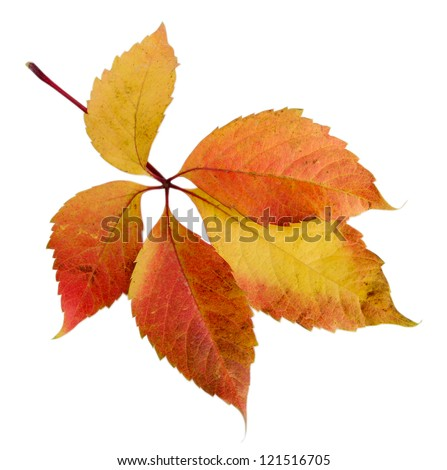 bright autumn leaf, isolated on white - stock photo