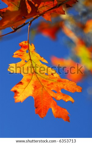 Bright autumn leaf on a fall oak tree branch, blue sky background - stock photo