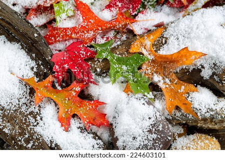 Bright autumn leaves covered with snow on aged driftwood and rocks - stock photo