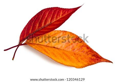 Bright autumn leaves sakura (Japanese cherry) on a white background - stock photo