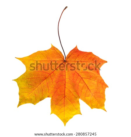 Bright autumn maple leaf isolated on white. - stock photo