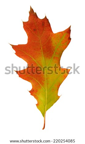 Bright autumn oak leaf                      - stock photo