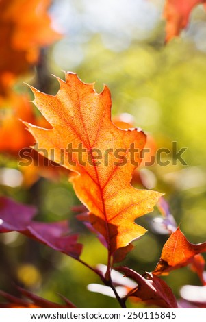 Bright autumn red oak leaf. Natural blurred background. Selective focus - stock photo