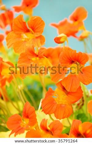 bright background from beautiful orange nasturtium - stock photo